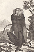 Monkey - Douc - Vietnam - Pygathrix nemaneus - Cercopithecidae - Mammals - Primates