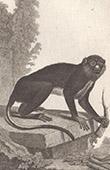 Monkey - Cercopithecus petaurista - Cercopithecidae - Mammals - Primates