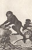Monkey - Cercopithecus nictitans - Cercopithecidae - Mammals - Primates