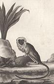 Monkey - Mico - Marmoset - Tamarin Pinche - Mammals - Callitrichidae
