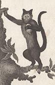 Monkey - Sajou - Cebidae - Cebus apella fatuellus - Mammals - Primates