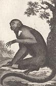 Monkey - Sai - Capuchin - Tamarin - Saguinus - Cebidae - Mammals - Primates