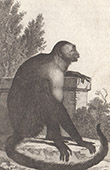 Monkey - Sai - Capuchin - Cebus niger - Cebidae - Mammals - Primates