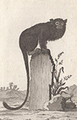 Monkey - Tamarin - Saguinus niger - Saguinus - Callitrichidae - Mammals - Primates