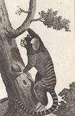 Monkey - Mico - Marmoset - Cebidae - Mammals - Primates