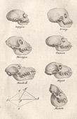 Singe - Crânes - Macaque - Alouate - Singe hurleur - Magot - Macaque - Sapajou - Mammifères - Primates