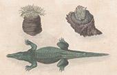 Borneo - Beadlet anemone - Crocodile (Malay Archipelago)