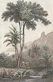 Borneo - Baum Upas - Moraceae (Indonesischer Archipel)