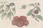 Botanik - Pfeffer - Mangostan - Vaquois - Vacoa - Rafflesia (Malaysia)