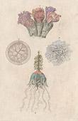 Zoophyt - Wassertiere
