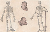 Anatomie - Skelett - Schimpansen - Mann - Kopf von Orang-Utan