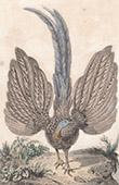 Java - F�glar - St�rre argusfasan - Phasianidae (Indonesien)