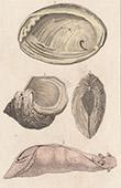 Arcipelago delle Molucche - Molluschi - Aplysia - Haliotis - Tridacna gigas - Turbo (Indonesia)
