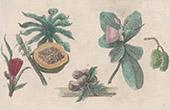 Botanik - Pflanzen - Fruchten - Vaquois - Pandanaceae - Papaye - Flindersia - Rutaceae