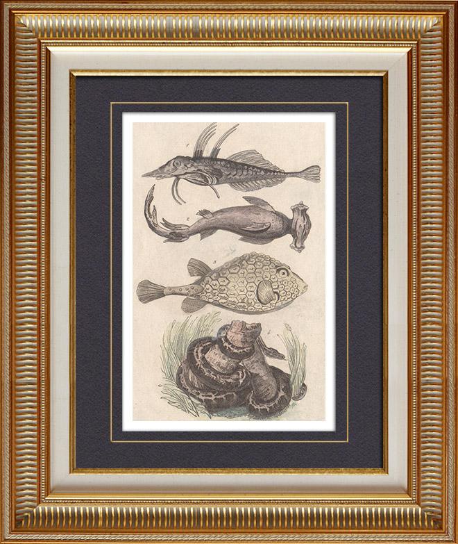 Gravures Anciennes & Dessins   Océanie - Poissons et Serpents - Trigle-Lyre - Marteau - Coffret triangulaire - Python colossal   Taille-douce   1836