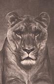 Mammals - Felids - Lion - Tiger