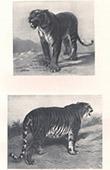 Mammals - Felids - Lion - Bengal Tiger (Panthera tigris tigris)