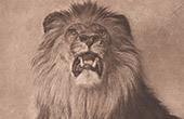 Mammals - Felids - Lion's Head