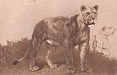 Mammals - Felids - Lioness