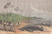 Gefangennahme eines Rundschwanzseekühe in Mabuiso (Peru)