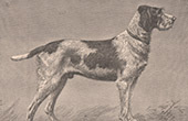 Mammals - Dogs - Canidae - Griffon - Hunting dog - Gundog