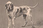 Mammals - Dogs - Canidae - Griffon Vend�en - Hunting dog - Gundog