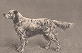 Mammals - Dogs - Canidae - English Setter - Hunting dog