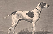 Mammals - Dogs - Canidae - St. Germain Pointing Dog - Hunting dog