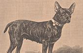 Mammals - Dogs - Canidae - Bulldog - Molossian