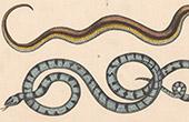 Reptiles - Snake - Le Bali - La Couleuvre des Dames