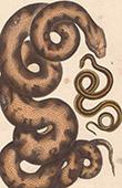 Reptiles - Snake - Python - Le Molure - La Double Raie