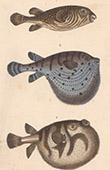 Fisch - Fugu - T�traodon Perroquet - T�traodon Etoil� - T�traodon H�riss�
