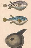 Fisch - Fugu - T�traodon Plumier - T�traodon Tigr� - T�traodon Lune
