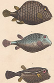 Fisch - Ostracion Triangulaire - Ostracion Maill� - Ostracion Pointill�