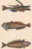 Fisch - Himmelsgucker - Callionyme Lyre - Uranoscop Rat - Trachine Vive