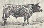 Stier - Taureau de Race Bordelaise