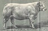 Kuh - Vache Nivernaise