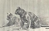 Katze Chartreux