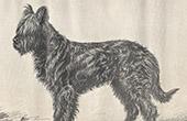 Hund Briard - Berger de Brie