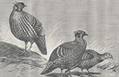 Vogel - Tragopan de Cabot - Tragopans de Temminck - Ceriornis Caboti - Ceriornis Temminckii