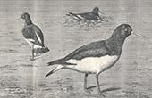 Vogel - Austernfischer - Hu�trier Pie
