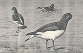 Bird - Oystercatcher - Hu�trier Pie