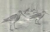 Bird - Common snipe - Bécassine Ordinaire - Bécassine Sourde ou Chevrotte