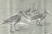 Bird - Common snipe - B�cassine Ordinaire - B�cassine Sourde ou Chevrotte