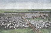 Neuseeland - Schaf Herde - Zucht