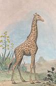 Giraffen - Aloen - Aloe (Alte Afrika)