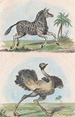 Zebra und Strau� (Alte Afrika)