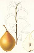 Frucht - Birne - Charneux