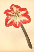 Botany - Vegetable - Plants and Flowers - Amaryllis (1)