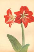 Botany - Vegetable - Plants and Flowers - Amaryllis (2)